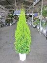 ゴールドクレスト・ウィルマ(10号)もみの木の代わりとして、クリスマスシーズンに大人気の観葉植物です。かわいいオーナメントを付け…