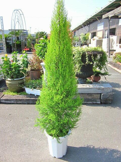ゴールドクレスト・スリムゴールド(10号)もみの木の代わりとして、クリスマスシーズンに大人気の観葉植物です。かわいいオーナメントを付けて、クリスマスツリーを楽しみませんか。【smtb-s】