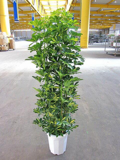 斑入り シェフレラ・ホンコン・カポック 10号 観葉植物 つやつやした厚みのある葉がとてもキレイな観葉植物です。インテリア 贈り物 ギフト 鉢 鉢植え 母の日 お誕生日 記念日 開店祝い ヤドリフカノキ【smtb-s】【05P01Mar15】
