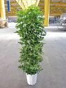 斑入り シェフレラ・ホンコン・カポック 10号 観葉植物 つやつやした厚みのある葉がとてもキレイな観葉植物です。インテリア 贈り物 ギ…