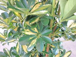 厳選斑入りシェフレラ・ホンコン10号つやつやした厚みのある葉がとてもキレイな観葉植物です。お部屋のインテリアやプレゼント・ギフトに最適です。【smtb-s】