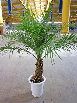 フェニックス・ロベリニー10号南国ムード漂う観葉植物です。耐寒性がありますので、室内でもカンタンに育てることができます♪【smtb-s】