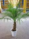 フェニックス ロベレニー 8号 フェニックス・ロベリニー ロベニー ヤシ カナリーヤシ 観葉植物 鉢植え 販売 苗 苗木 地植え 送料無料 …