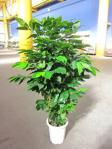 コーヒーの木 10号 深い緑色のツヤツヤした葉っぱが特徴の美しい観葉植物です。きれいな緑がインテリアにもよく映え大変人気がありますので、プレゼントや贈り物にも最適です。【smtb-s】