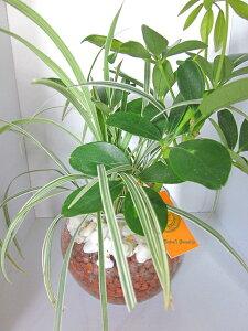 丸ガラス バブ12(ハイドロボール)大人気のハイドロカルチャー観葉植物です。ハイドロボールは無菌・無臭でとても清潔、また、水分を含ませるとマイナスイオンが発生します。お部屋の
