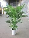 ケンチャヤシ 7号 観葉植物 鉢植え 販売 苗 苗木 鉢植え 送料無料 インテリア 贈り物 ギフト お誕生日 記念日 開店祝い
