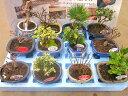 ミニ盆栽 おまかせ 12鉢セット 陶器鉢 鉢植え 鉢 植物 用土 送料無料 園芸 植木 ミニ盆栽セット贈り物 ギフト お誕生日 記念日 開店祝い