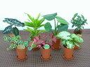 【産地直送】ポットミックス(ミニ観葉植物セット)1ケース(お得な35鉢入り) とってもかわいいミニサイズの観葉植物です。7品種のミニ観葉植物が5鉢ずつ入っている...