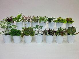 【産地直送】ミニ観葉(ミニ観葉植物セット)1ケース(お得な15鉢入り) とってもかわいいミニサイズの観葉植物です。プラスチックの鉢に10〜15品種を組み合わせた植物が15鉢入っているので、いろいろな場所に飾れます。【smtb-s】