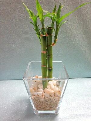 スクエア9.5パイサンゴ砂バンブーハイドロカルチャー水耕栽培観葉植物お中元お歳暮母の日プレゼントギフト敬老インテリアプランツ贈り物誕生日サンゴ砂涼しげ風鈴
