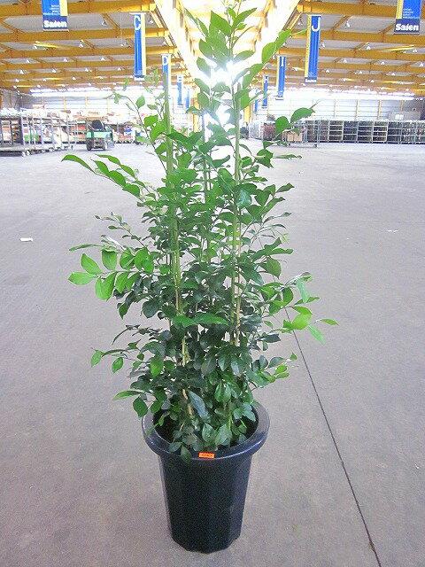 シルクジャスミン 8号 ゲッキツ 月橘 観葉植物 鉢植え 販売 苗 苗木 送料無料 インテリア 贈り物 ギフト お誕生日 記念日 開店祝い
