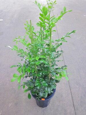 シルクジャスミン8号ゲッキツ月橘観葉植物鉢植え販売苗苗木送料無料インテリア贈り物ギフトお誕生日記念日開店祝い