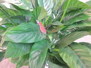 スパティフィラムメリー8号観葉植物鉢植え販売苗苗木送料無料インテリア贈り物ギフトお誕生日記念日開店祝い