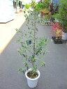 オリーブ ピッチョリーネ 観葉植物 販売 木 苗 苗木 鉢植え 常緑樹 南欧の樹木 希少種 送料無料 限定