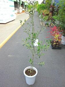 オリーブ バルネア 観葉植物 販売 木 苗 苗木 鉢植え 常緑樹 南欧の樹木 希少種 送料無料 限定