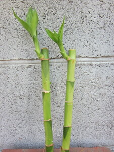 水耕栽培 苗 バンブー(ミドル) 2本セット 水耕栽培 ハイドロカルチャー 室内園芸 苗木 苗 観葉植物 インテリア ミニ