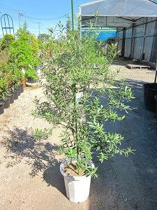 オリーブの木 10号 観葉植物 販売 木 苗 苗木 鉢植え 常緑樹 南欧の樹木 希少種 送料無料 限定 オリーブの木 【smtb-s】【05P01Mar15】