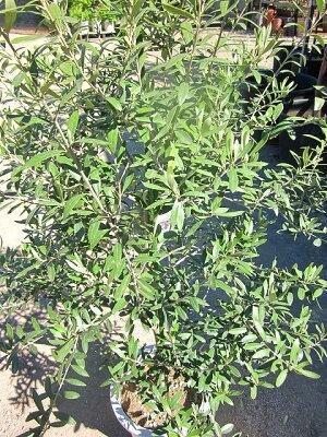 オリーブの木10号観葉植物販売木苗苗木鉢植え常緑樹南欧の樹木希少種送料無料限定オリーブの木【smtb-s】【05P01Mar15】