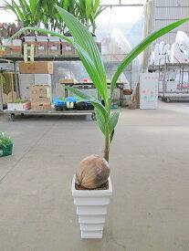 ココヤシ 7号 陶器鉢 ヤシの木 観葉植物 ヤシの実 ヤシノミ 送料無料 ココナツ 実 販売 通販 やしの木 椰子 【smtb-s】