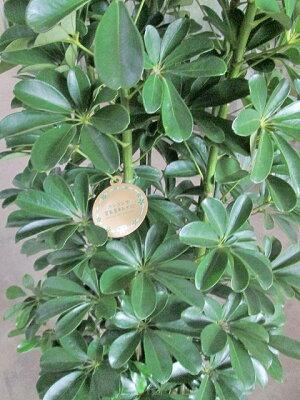ホンコンカポックシェフレラ10号ヤドリフカノキ観葉植物空気清浄鉢植え苗苗木木販売送料無料大鉢