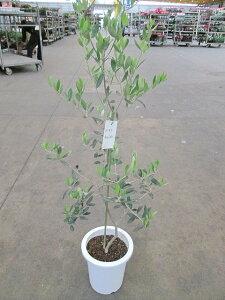 オリーブ ロシオーラ 観葉植物 販売 木 苗 苗木 鉢植え 常緑樹 南欧の樹木 希少種 送料無料 限定