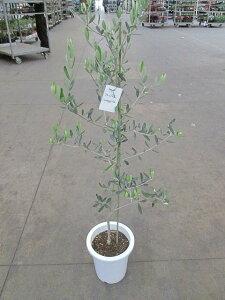 オリーブ コレッジョラ 観葉植物 販売 木 苗 苗木 鉢植え 常緑樹 南欧の樹木 希少種 送料無料 限定