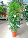 シェフレラ・ホンコン・カポック 8号 観葉植物 鉢植え 苗 インテリア 贈り物 ギフト 鉢 鉢植え 母の日 お誕生日 記念日 開店祝い ヤド…