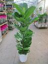 カシワバゴムの木 10号(柏ゴム) 観葉植物 鉢植え 苗 お中元 お歳暮 母の日 プレゼント ギフト 敬老 インテリア プランツ 贈り物 誕生…