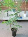エバーフレッシュ 8号 ねむの木 観葉植物 インテリア 鉢植え スタイリッシュ 母の日 父の日 苗 株立 ギフト プレゼント 贈り物 グリー…