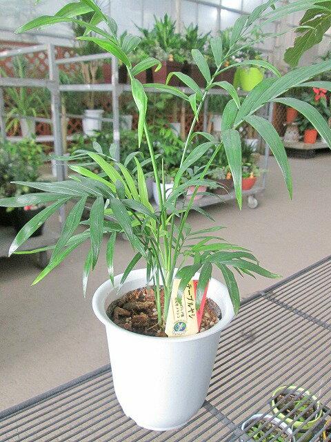テーブルヤシ 4号 観葉植物 インテリア 贈り物 ギフト 母の日 誕生日 記念日 開店祝い 鉢 チャメドレア インテリアグリーン
