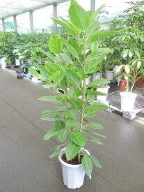 アルテシーマ 10号 観葉植物 鉢植え 苗 インテリア 贈り物 ギフト 鉢 鉢植え 母の日 お誕生日 記念日 開店祝い