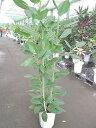 フィカス・ベンガレンシス 10号 観葉植物 ベンガルボダイジュ ベンガルゴム 長寿 鉢植え 苗 インテリア 贈り物 ギフト 鉢 鉢植え 母の…