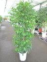 ベンジャミン 10号 観葉植物 鉢植え 販売 苗 苗木 送料無料 インテリア 贈り物 ギフト お誕生日 記念日 開店祝い