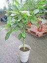 アルテシーマ 7号 観葉植物 鉢植え 苗 インテリア 贈り物 ギフト 鉢 鉢植え 母の日 お誕生日 記念日 開店祝い