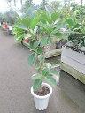 フィカス・ロブスター 8号 観葉植物 フィカス・ロブスター ゴムの木 鉢植え 販売 苗 苗木 送料無料 インテリア 贈り物 ギフト お誕生日…