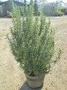 ローズマリー ハーブ 鉢植え 販売 苗 苗木 送料無料 贈り物 ギフト お誕生日 記念日 開店祝い