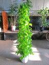 ポトス・ライム 10号 タワー 観葉植物 ヘゴ オウゴンカズラ インテリア 贈り物 ギフト 母の日 誕生日 記念日 開店祝い 鉢