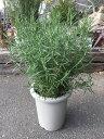 ローズマリー 8号 ハーブ 鉢植え 販売 苗 苗木 送料無料 贈り物 ギフト お誕生日 記念日 開店祝い