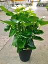 アンスリウム(アンスリューム)白 8号鉢 四季咲きで花持ちが良く涼しげでギフトとして大変喜ばれている人気商品です。大変大きく高さ…