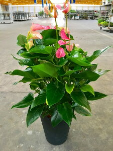 アンスリウム(アンスリューム)ピンク 8号鉢 四季咲きで花持ちが良く涼しげでギフトとして大変喜ばれている人気商品です。大変大きく高さもありお部屋のインテリアとして置いて頂くと