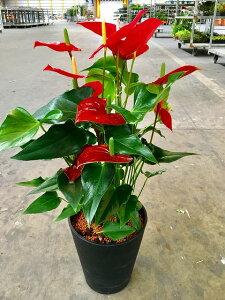 アンスリウム(アンスリューム)赤 8号鉢 四季咲きで花持ちが良く涼しげでギフトとして大変喜ばれている人気商品です。大変大きく高さもありお部屋のインテリアとして置いて頂くと一段