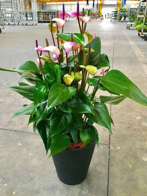 アンスリウム(アンスリューム)パープル 紫 8号鉢 四季咲きで花持ちが良く涼しげでギフトとして大変喜ばれている人気商品です。大変大きく高さもありお部屋のインテリアとして置いて頂くと一段と華やかになります。開店祝い、新築祝いなどにもおすすめです。【smtb-s】