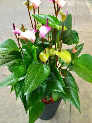 アンスリウム(アンスリューム)8号鉢四季咲きで花持ちが良く涼しげでギフトとして大変喜ばれている人気商品です。大変大きく高さもありお部屋のインテリアとして置いて頂くと一段と華やかになります。開店祝い、新築祝いなどにもおすすめです。