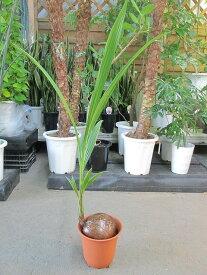 ココヤシ 7号 ヤシの木 観葉植物 ヤシの実 ヤシノミ 送料無料 ココナツ 実 販売 通販 やしの木 椰子 【smtb-s】