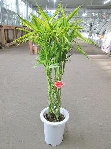 ラッキーバンブー 7号「ミリオンバンブー」などと呼ばれる縁起のいい観葉植物 ギフトにオススメのインテリアグリーンです。【smtb-s】