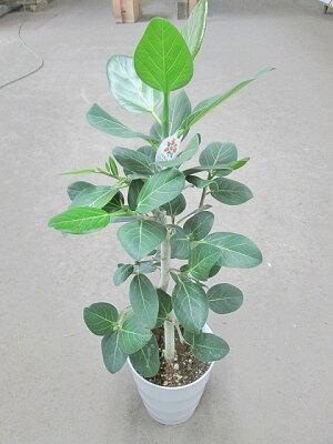 フィカス・ベンガレンシス7号観葉植物ベンガルボダイジュベンガルゴム長寿鉢植え苗インテリア贈り物ギフト鉢鉢植え母の日お誕生日記念日開店祝い