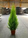 ゴールドクレスト 10号 もみの木の代わりとして、クリスマスシーズンに大人気の観葉植物です。かわいいオーナメントを付けて、クリスマ…