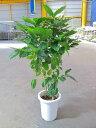 コーヒーの木 8号 深い緑色のツヤツヤした葉っぱが特徴の美しい観葉植物です。きれいな緑がインテリアにもよく映え大変人気のあります…