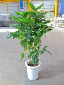 コーヒーの木 8号 深い緑色のツヤツヤした葉っぱが特徴の美しい観葉植物です。きれいな緑がインテリアにもよく映え大変人気のありますので、プレゼントや贈り物にも最適です。
