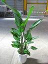 ストレリチア オーガスタ 10号 観葉植物 鉢植え 苗 リゾート 南国 お中元 お歳暮 母の日 プレゼント ギフト 敬老 インテリア プランツ …